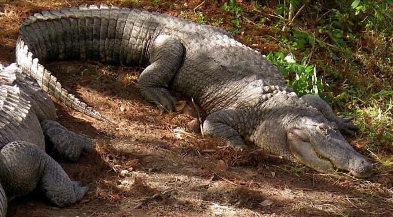 "<img typeof=""foaf:Image"" src=""http://statelibrarync.org/learnnc/sites/default/files/images/alligator.jpg"" width=""1024"" height=""565"" alt=""Alligator"" title=""Alligator"" />"