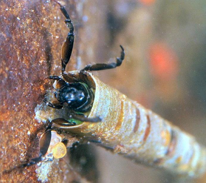 "<img typeof=""foaf:Image"" src=""http://statelibrarync.org/learnnc/sites/default/files/images/caddisfly_larva.jpg"" width=""692"" height=""616"" alt=""Caddisfly larva"" title=""Caddisfly larva"" />"