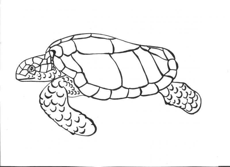 Sea Turtle Drawing Step