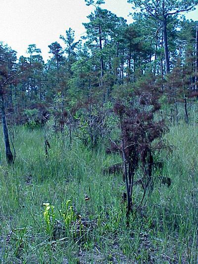 "<img typeof=""foaf:Image"" src=""http://statelibrarync.org/learnnc/sites/default/files/images/cypress_savanna_0.jpg"" width=""400"" height=""533"" alt=""Cypress savanna"" title=""Cypress savanna"" />"