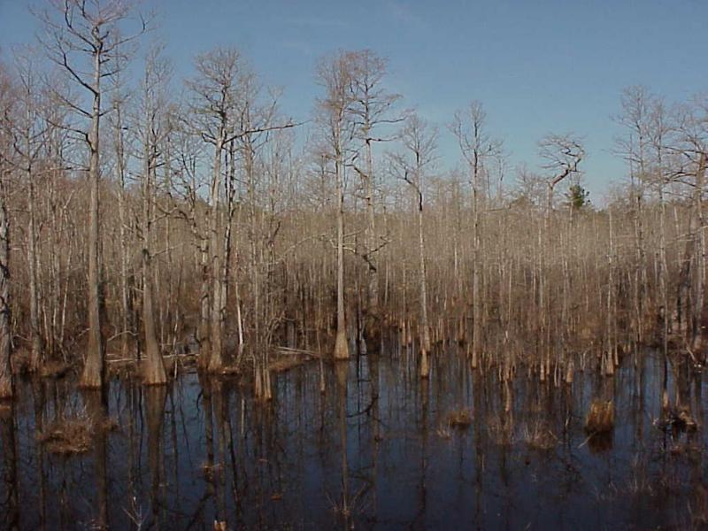 """<img typeof=""""foaf:Image"""" src=""""http://statelibrarync.org/learnnc/sites/default/files/images/cypress_swamp.jpg"""" width=""""1024"""" height=""""768"""" alt=""""Cypress gum swamps"""" title=""""Cypress gum swamps"""" />"""