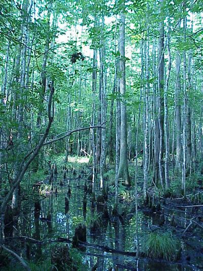 "<img typeof=""foaf:Image"" src=""http://statelibrarync.org/learnnc/sites/default/files/images/cypress_swamp_0.jpg"" width=""400"" height=""533"" alt=""Cypress gum swamp"" title=""Cypress gum swamp"" />"