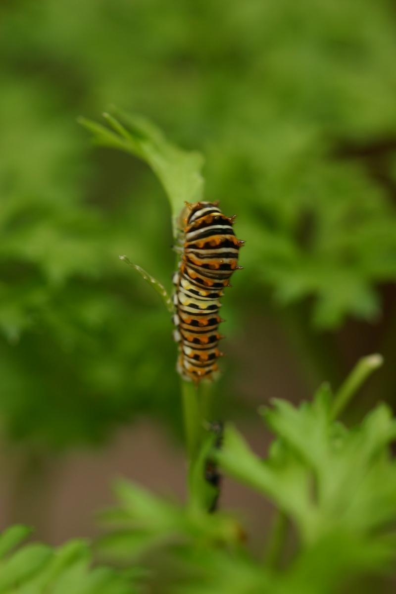 """<img typeof=""""foaf:Image"""" src=""""http://statelibrarync.org/learnnc/sites/default/files/images/esb06.jpg"""" width=""""2048"""" height=""""3072"""" alt=""""Eastern black swallowtail butterfly: Second larval instar"""" title=""""Eastern black swallowtail butterfly: Second larval instar"""" />"""