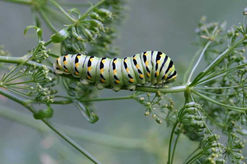 """<img typeof=""""foaf:Image"""" src=""""http://statelibrarync.org/learnnc/sites/default/files/images/esb12.jpg"""" width=""""3072"""" height=""""2048"""" alt=""""Eastern black swallowtail butterfly: Third larval instar"""" title=""""Eastern black swallowtail butterfly: Third larval instar"""" />"""