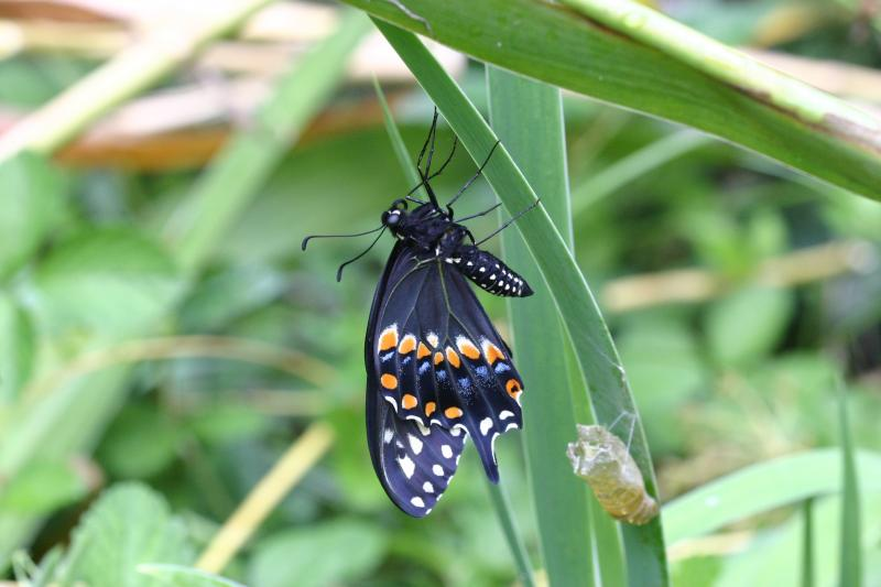 """<img typeof=""""foaf:Image"""" src=""""http://statelibrarync.org/learnnc/sites/default/files/images/esb21.jpg"""" width=""""3072"""" height=""""2048"""" alt=""""Eastern black swallowtail butterfly """" title=""""Eastern black swallowtail butterfly """" />"""