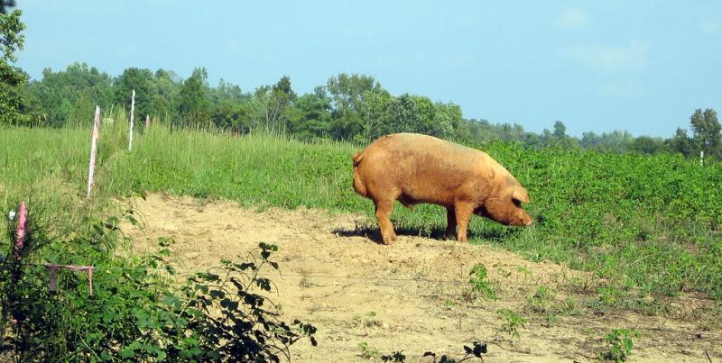 Hogs sold in North Carolina, 2007
