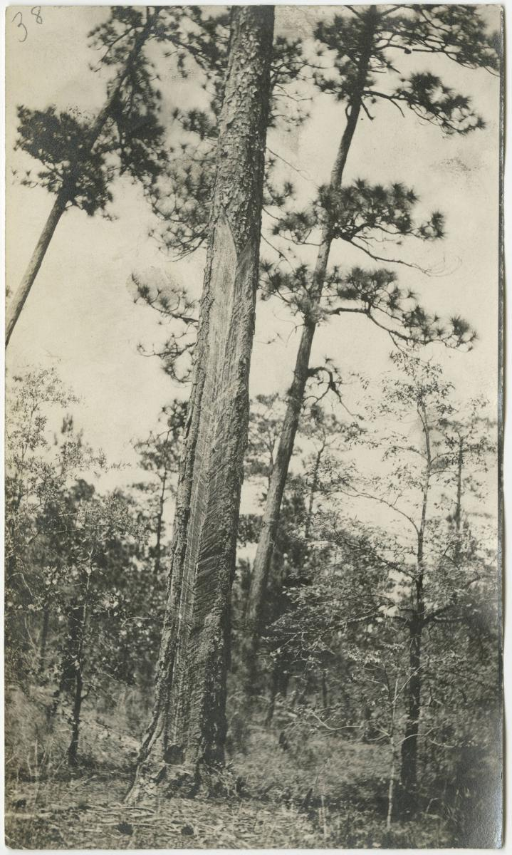 Longleaf pine with markings from turpentine production.