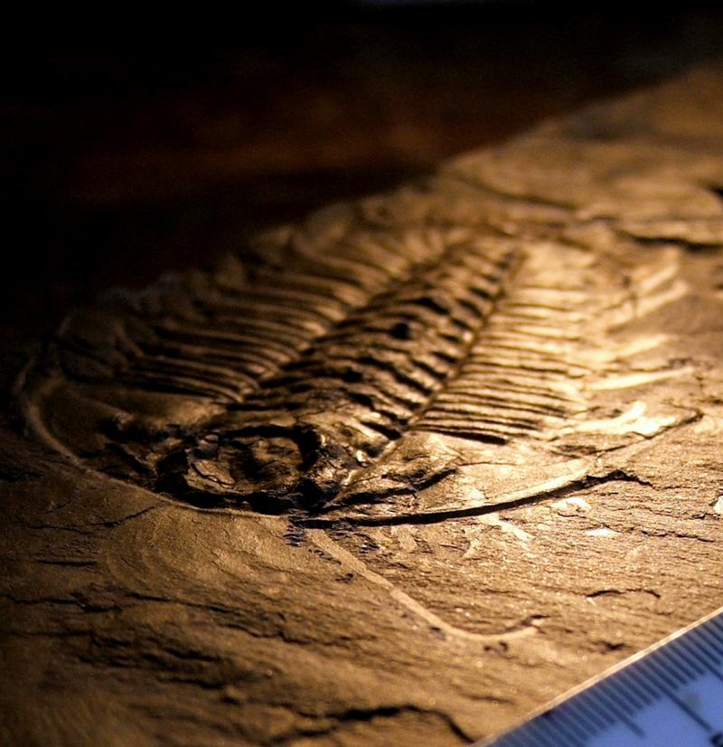 """<img typeof=""""foaf:Image"""" src=""""http://statelibrarync.org/learnnc/sites/default/files/images/leggedtrilobite2.jpg"""" width=""""1114"""" height=""""1150"""" alt=""""Fossil of a trilobite"""" title=""""Fossil of a trilobite"""" />"""