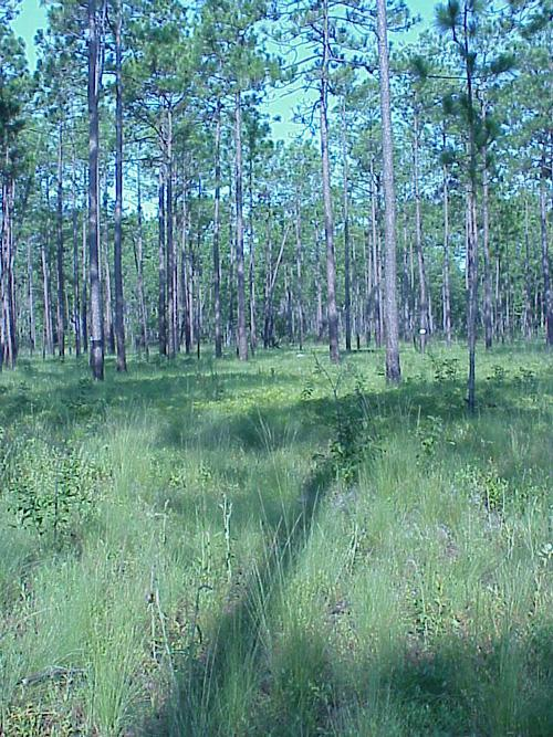 "<img typeof=""foaf:Image"" src=""http://statelibrarync.org/learnnc/sites/default/files/images/longleaf_pine_savanna2.jpg"" width=""500"" height=""667"" alt=""Longleaf Pine Forests become fire dependent"" title=""Longleaf Pine Forests become fire dependent"" />"