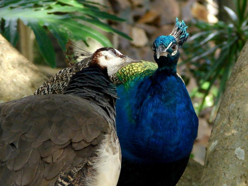 """<img typeof=""""foaf:Image"""" src=""""http://statelibrarync.org/learnnc/sites/default/files/images/maleandfemalepeafowl.jpg"""" width=""""1022"""" height=""""768"""" alt=""""Male and female peacock"""" title=""""Male and female peacock"""" />"""