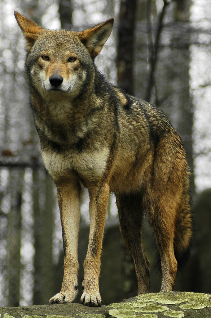 """<img typeof=""""foaf:Image"""" src=""""http://statelibrarync.org/learnnc/sites/default/files/images/red_wolf.jpg"""" width=""""681"""" height=""""1024"""" alt=""""Red wolf"""" title=""""Red wolf"""" />"""