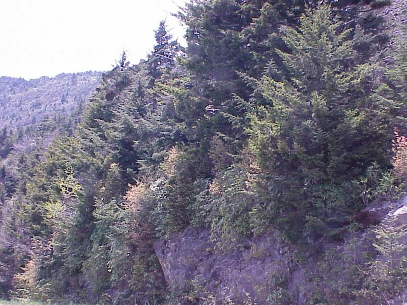 """<img typeof=""""foaf:Image"""" src=""""http://statelibrarync.org/learnnc/sites/default/files/images/spruce_fir_forest_0.jpg"""" width=""""1024"""" height=""""768"""" alt=""""Transition from Northern Hardwoods to Spruce-fir Forest"""" title=""""Transition from Northern Hardwoods to Spruce-fir Forest"""" />"""