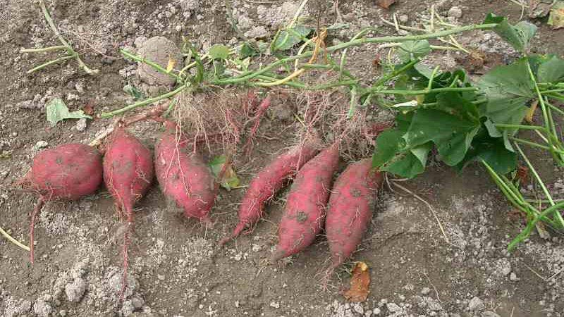 "<img typeof=""foaf:Image"" src=""http://statelibrarync.org/learnnc/sites/default/files/images/sweet_potatoes.jpg"" width=""800"" height=""450"" alt=""Sweet potatoes"" title=""Sweet potatoes"" />"