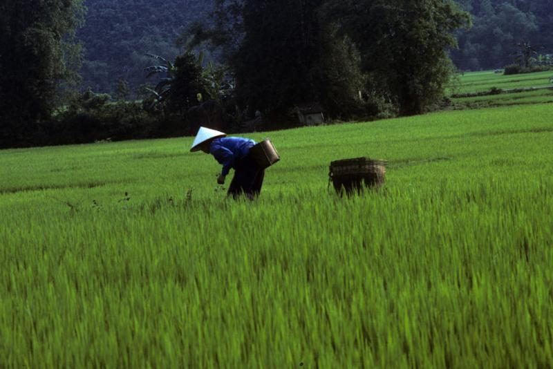 "<img typeof=""foaf:Image"" src=""http://statelibrarync.org/learnnc/sites/default/files/images/vietnam_017.jpg"" width=""1024"" height=""683"" alt=""A farmer is bent at the waist working in a wet-rice field at Mai Chau"" title=""A farmer is bent at the waist working in a wet-rice field at Mai Chau"" />"