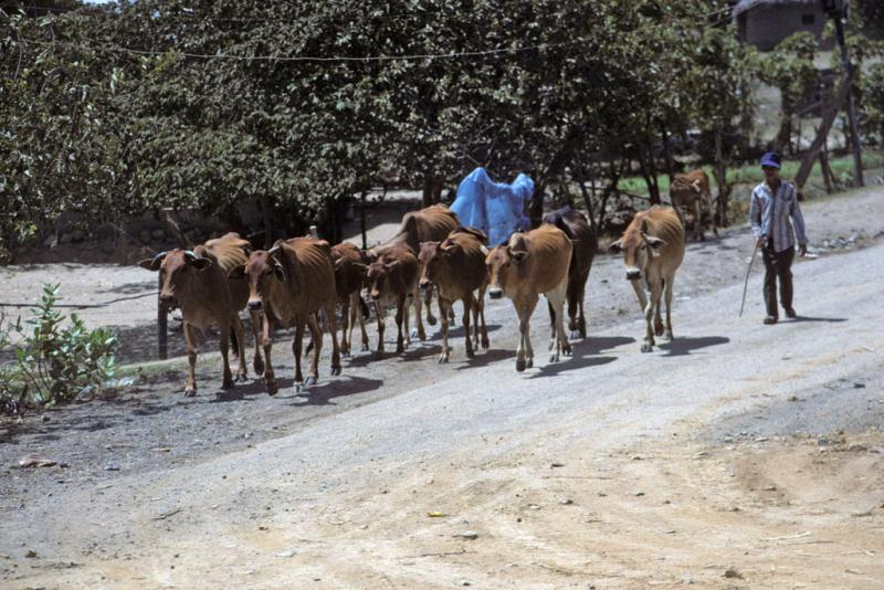 "<img typeof=""foaf:Image"" src=""http://statelibrarync.org/learnnc/sites/default/files/images/vietnam_041.jpg"" width=""1024"" height=""683"" alt=""A man walks a herd of ten cows along Highway No. 1 near Nha Trang"" title=""A man walks a herd of ten cows along Highway No. 1 near Nha Trang"" />"
