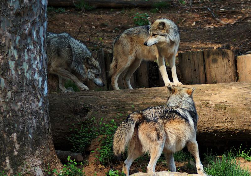 "<img typeof=""foaf:Image"" src=""http://statelibrarync.org/learnnc/sites/default/files/images/wolf_pack.jpg"" width=""1024"" height=""719"" alt=""Pack of wolves"" title=""Pack of wolves"" />"