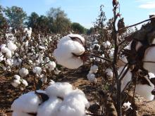 Cotton field ready for harvest