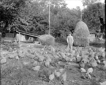 Flock of Chickens and Young Boy in Chicken Yard Prob 1900 teens  Flock of chickens and a young boy in a chicken yard somewhere in North Carolina, c1900 teens. From the Albert Barden Collection, North Carolina State Archives, call #:  N.53.16.4427, Raleigh, NC.