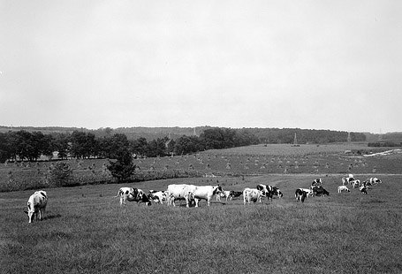 Dairy Cows North Carolina State Farm, Dix Hill Aug 29, 1941  Dairy Cows North cArolina State Farm, Dix Hill Aug 29, 1941. From the Barden Collection, North Carolina State Archives, call #:  N_53_16_3999. Raleigh, NC.