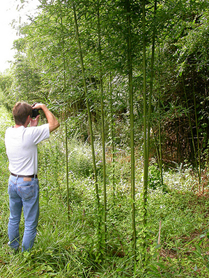 Arundinaria gigantea in South Carolina, 2003. Image from Flickr user Matt Lavin.