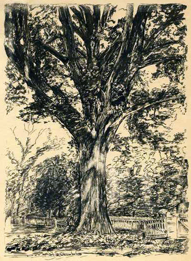 Sketch of the Henry Clay Oak by Hope Summerell Chamberlain, and used in his book, The History of Wake County, North Carolina, 1922. Image from the North Carolina Museum of History.