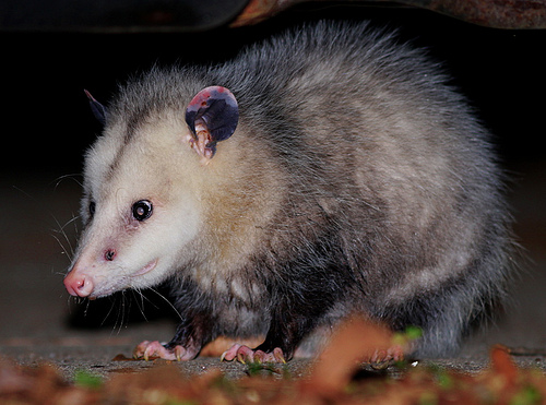 Picture of an opossum taken January 12, 2010 in Durham, North Carolina. Image from Flickr user cotinis.