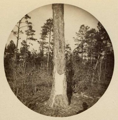 Pine tree, which has been boxed, or partially stripped, for turpentine, Dec. 26, 1888. Beaman's Crossroads, Sampson County, N.C. Image from the North Carolina Museum of History.