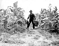 Tobacco harvest, 1946