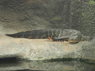 American Alligator, Kure Beach, NC, 2011. Image courtesy of Flickr user Travis S.