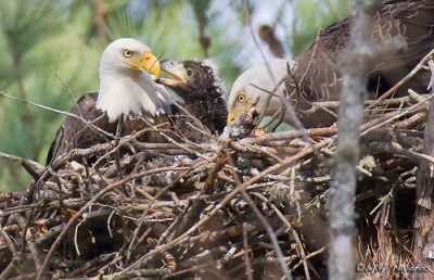 Bald Eagle Nest, NC, 2009. Image courtesy of Bill Majoros.
