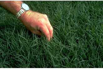 Cynodon dactylon (Bermudagrass). Image courtesy of USDA.