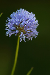 Blue Thimble or Globe Gilia, a North Carolina Wildflower. Image courtesy of Flickr user Philip Bouchard.