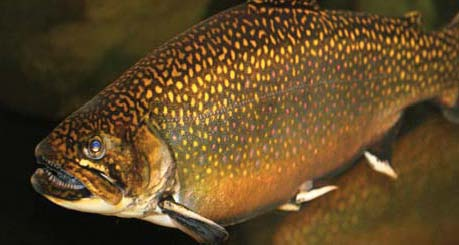 Freshwater trout southern appalachian brook trout ncpedia for Nc trout fishing regulations