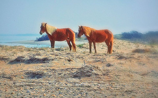 """Shackleford banks wild pony pair, Cape Lookout National Seashore, NC, 2012"" Image courtesy of Flickr user Dennis Deitrick."