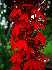 Cardinal Flower. Image courtesy of Flickr user Zen Sutherland.