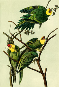 Carolina Parakeet | NCpedia