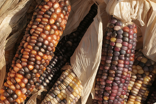 Corn like this might have been eaten by North Carolina's Native Peoples