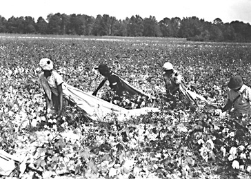 Cotton is an important NC export. Image courtesy of the State Archives of NC, call #: ConDev4667A.
