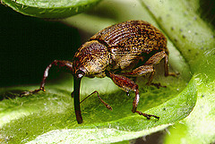 Cotton Boll Weevil.  Image courtesy of Flickr user Jimmy Smith.
