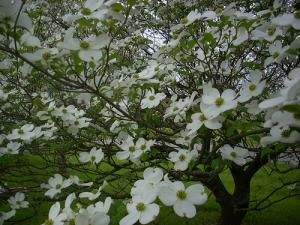 Flower Dogwood Ncpedia