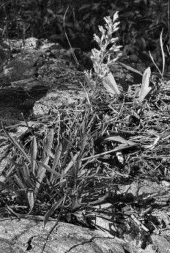 The rare and endangered Yadkin River goldenrod, Solidago plumosa, was first described in the 1890s and then lost to science and presumed extinct until rediscovered in 1994 by botanists Alan Weakley and Steve Leonard, working independently of each other. The plant is endemic to North Carolina and grows in rock crevices along a quarter-mile stretch in the Yadkin River Gorge. Photograph by Johnny Randall.