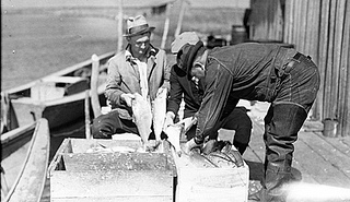 Shad fishing, Wanchese still living fish put in boxes of ice n.d. (1935-1940). From the Charles A. Farrell Photograph Collection, NC State Archives, call #: PhC_9_2_50_25, Raleigh, NC.