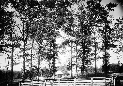 Oaks in front of Penland's- Crockett's in distance Oct 1, 1910 Frank W. Bicknell Photograph Collection, PhC.8, North Carolina State Archives, call #: PhC8_400, Raleigh, NC.