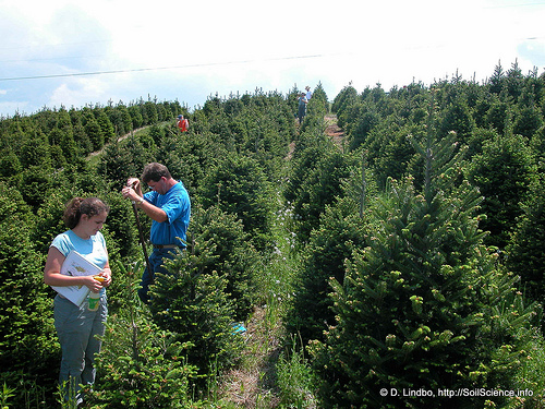 christmas tree production 1 2004 photo by flickr user soil science online at httpwwwflickrcomphotossoilscience5086374661 - Fir Christmas Tree