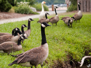 Canadian Geese, Lake Lure, NC. Image courtesy of Flickr user Ketan Panchal.