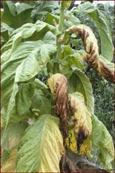Tobacco plant infected with Granville Wilt. Image available from North Carolina State University, Department of Agriculture & Life Sciences.
