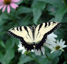 Photograph of the Eastern Tiger Swallowtail butterfly, from <i>Extension Gardener</i>, NC Cooperative Extension Service, 2009.  Presented on NC Digital Collections.