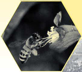 "Image of the honey bee, from the ""Honey Bee Dance Language."" Published 2004 by the North Carolina Cooperative Extension Service."