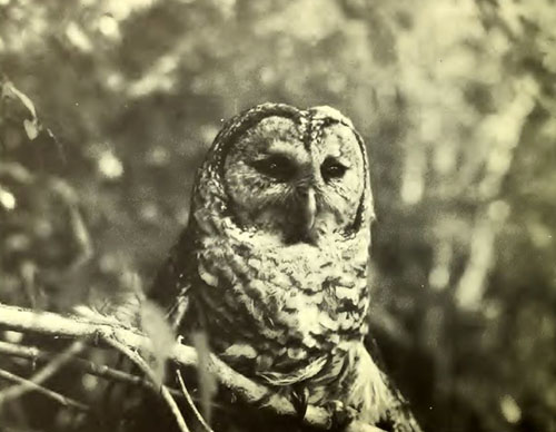 Owl at Lake Waccamaw State Park, ca. 1976. From the <i>Lake Waccamaw State Park Master Plan</i>, N.C. Division of Parks and Recreation, 1976.