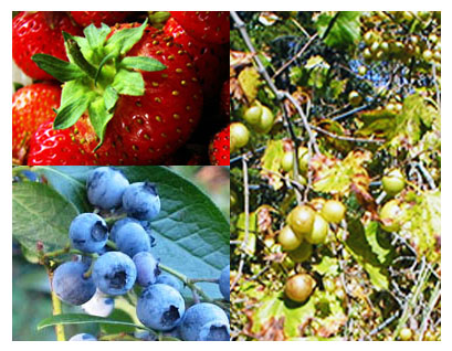 Montage of North Carolina's State Fruits: The Strawberry, Blueberry, and Scuppernong Grape.